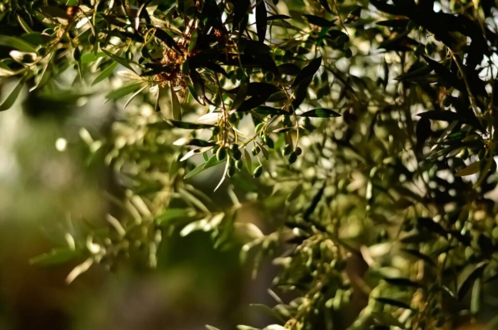 Oliveda Produkte nutzen die Kraft der Olive